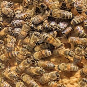 Ferguson Apiaries Buckfast bees